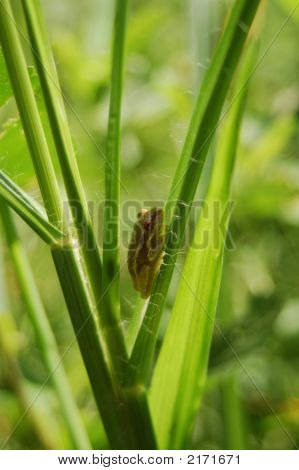 Tiny Tree Frog Hiding In The Grass