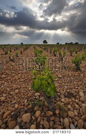 Vineyard Before A Storm.