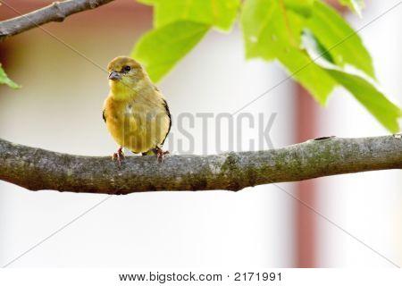 American Goldfinch F