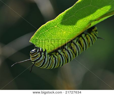 Munching Monarch Caterpillar