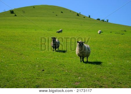 Sheep On Green Hill