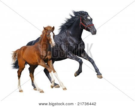 Black mare and sorrel foal gallop - isolated on white