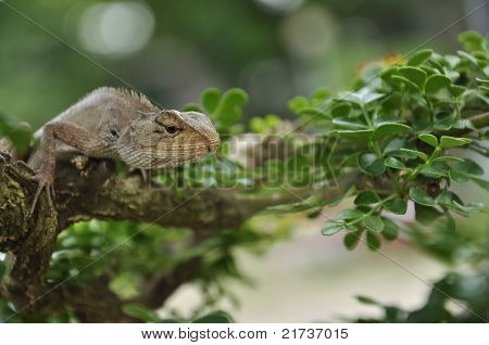 Close-up Common garden lizard on bonsai trees
