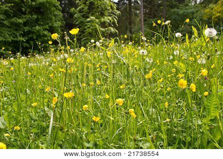 Grassland with dandelions and buttercups in summer