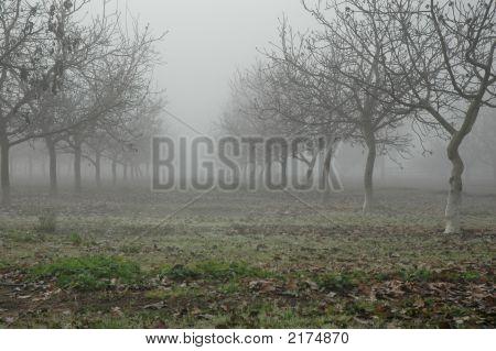 Walnut Trees In Fog