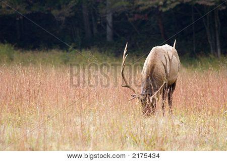 0354Elkeatinggrass