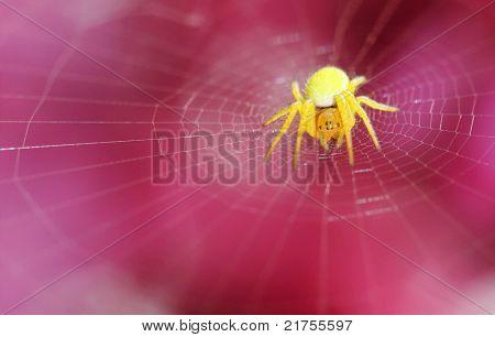 yellow spider on net