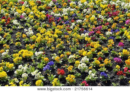 Garden of primroses