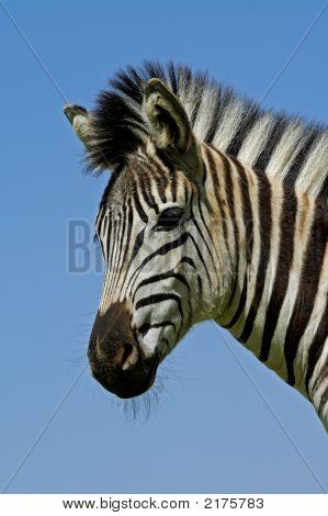 Ebenen Zebra Portrait