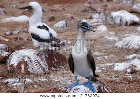 Blue-footed booby and chick.