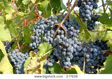 Pinot Noir Grapes-vine 2