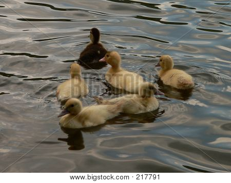 Ducklings On Colorful Water