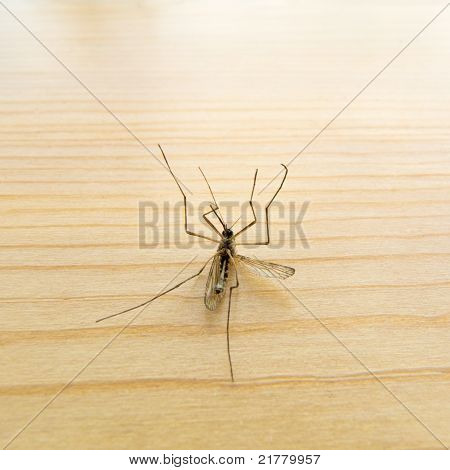 Dead Mosquito on wooden board.