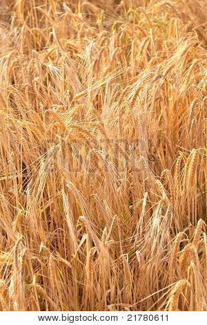 Detalle del campo de maíz antes de la cosecha