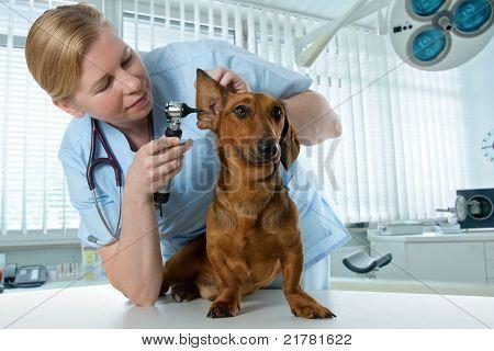 veterinario examen de perro enfermo