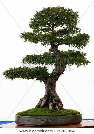 Chinese Elm As Bonsai Tree