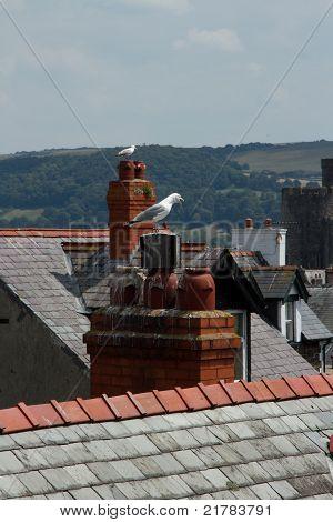 Town Seagulls.