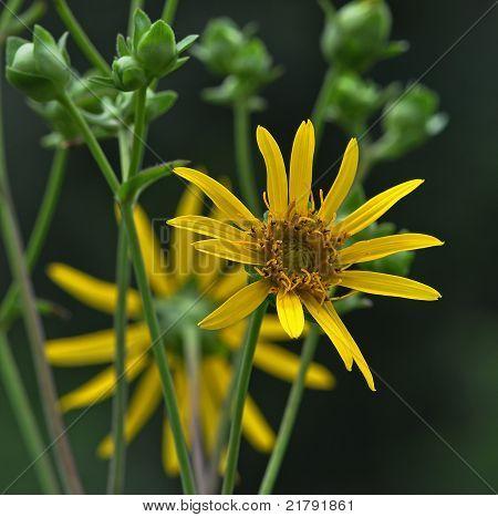 Whorled Rosinweed (Silphium trifoliatum)