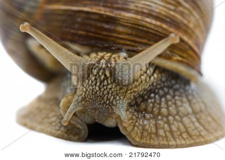 Helix pomatia. Big Roman snail on a white background.