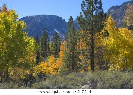 Yellow Aspen And Green Pine Trees