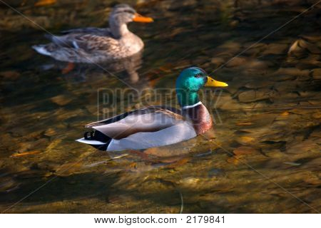 Male And Female Mallard In Fall River