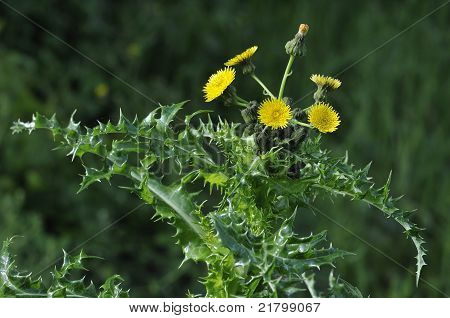 Prickly or Rough Sow-thistle