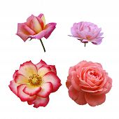 foto of pink rose  - Four different roses heads isolated on white - JPG