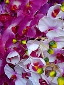 White And Purple Hothouse Orchids
