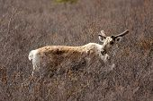stock photo of caribou  - A caribou in Denali National Park Alaska - JPG