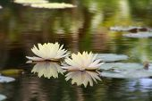 image of water lily  - Two cream lily flowers floating in a pond of water - JPG