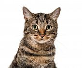 Close-up on a striped mixed-breed cat (2 years old) isolated on white poster