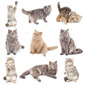 picture of foreshortening  - Collection of a cats in different poses isolated over white background - JPG