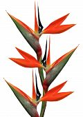stock photo of bird paradise  - bird of paradise flowers on a white background - JPG