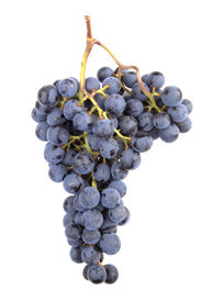 stock photo of wine grapes  - a real pinot noir grape cluster picked fresh  - JPG