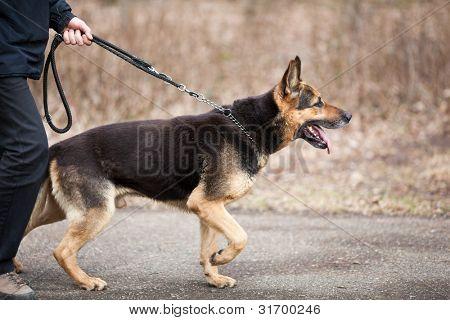 Master und seinen Gehorsam (Deutscher Schäferhund)