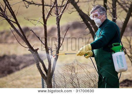 Using chemicals in the garden/orchard: gardener applying an insecticide/a fertilizer to his fruit shrubs, using a sprayer