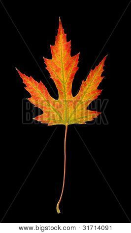 Fall Maple Leaf With Clipping Path