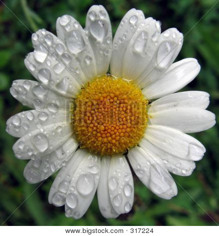 Field Chamomile After Rain