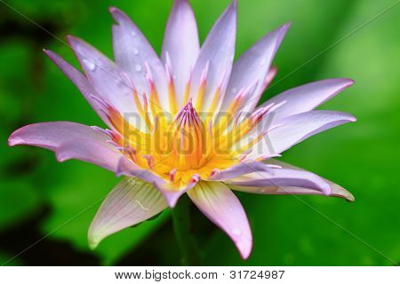 Yellow Pink Lotus Flower Blooming At Summer