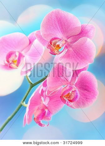 Beautiful pink Orchid, isolated on a blur background.