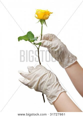 Hands of a doctor in a sterile gloves holding a rose