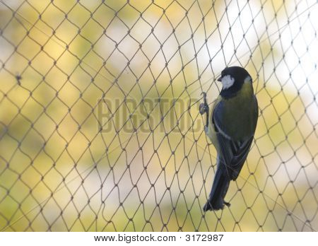 Tomtit On The Net.