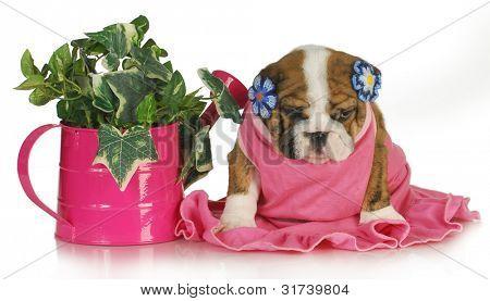 primavera cachorro - hembra bulldog inglés cachorro sentado al lado de la regadera de la hiedra 7,5 semanas