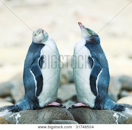 Wildlife photo of a Yellow-eyed Penguins