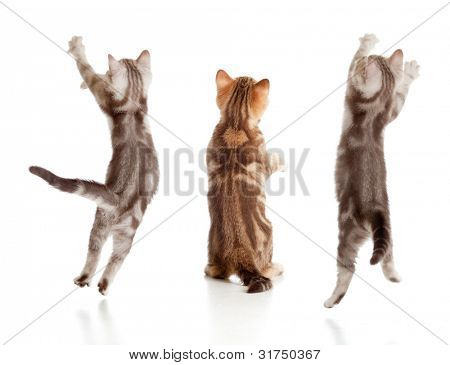 jumping british kitten rear view set