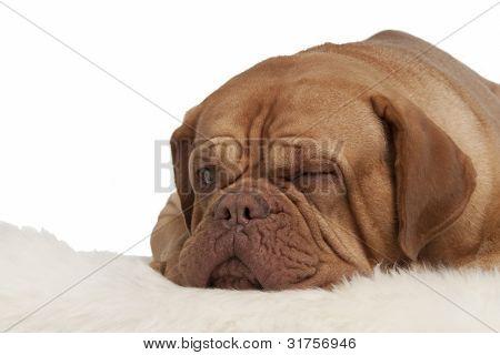 Winking dog lying on white carpet isolated