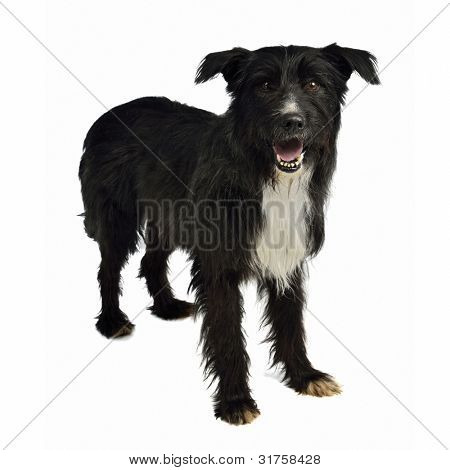 Shaggy mixed breed dog isolated on white