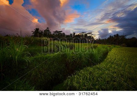 Sunset over rice terrace. Bali Indonesia