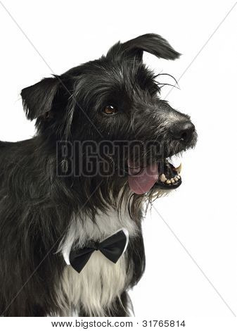 Elegant male dog with bow tie, studio shot