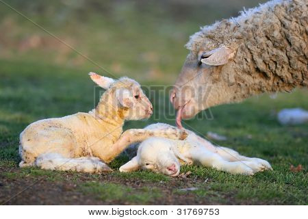 New born two little lambs with their mother.